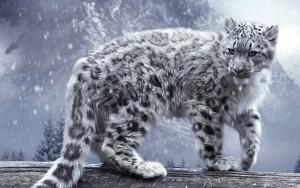 Leopardo delle Nevi Rischia Estinzione