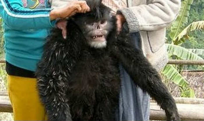 WWF Scopre Scimmia che Starnutisce su Himalaya