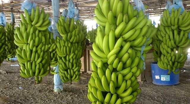 Banane: estinzione vicina?