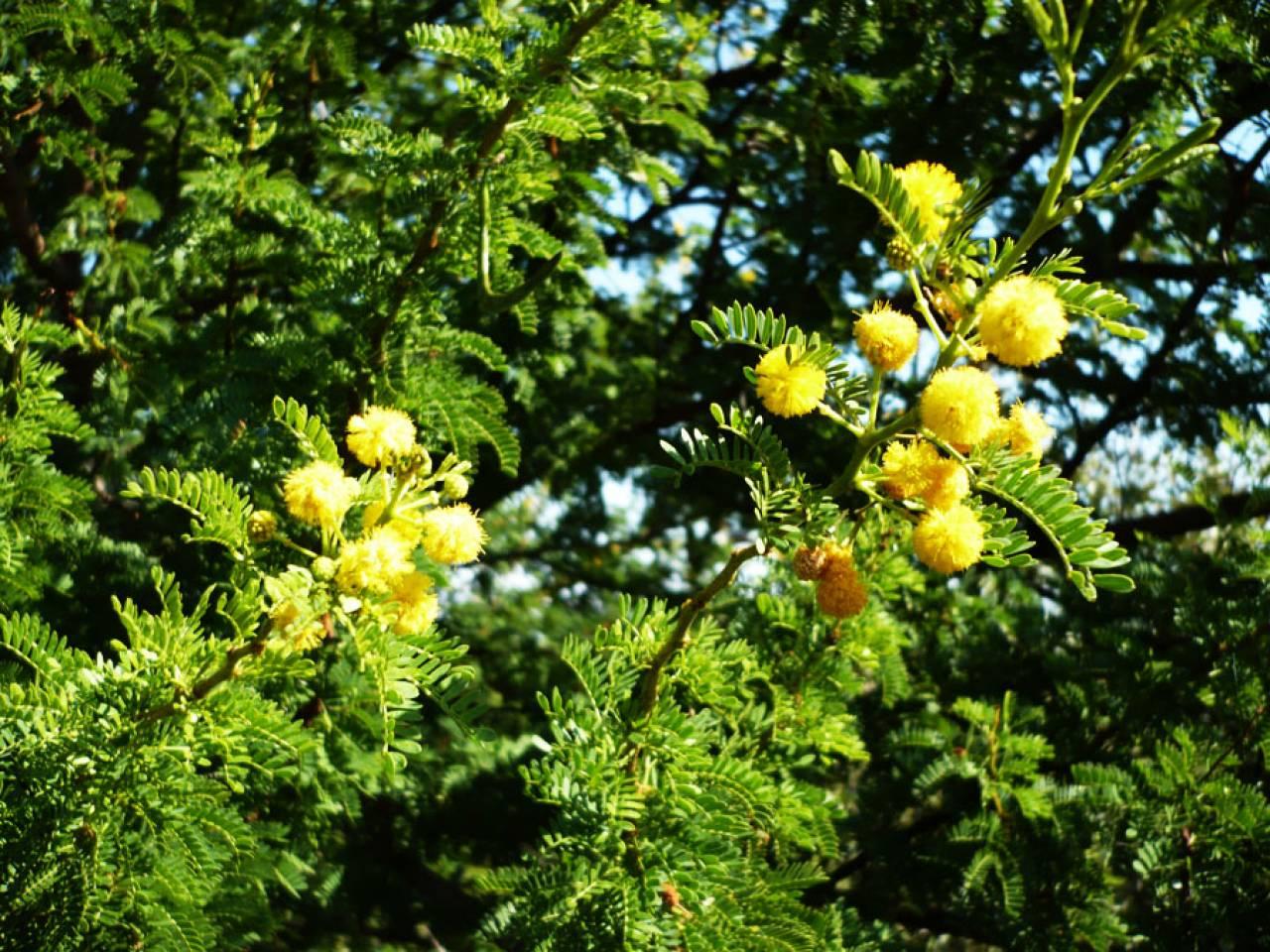 Meteo, mimose in fiore a dicembre