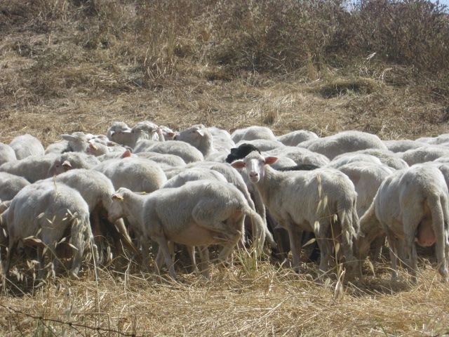 Brescello, vuole acquistare pecora: ghanese pestato