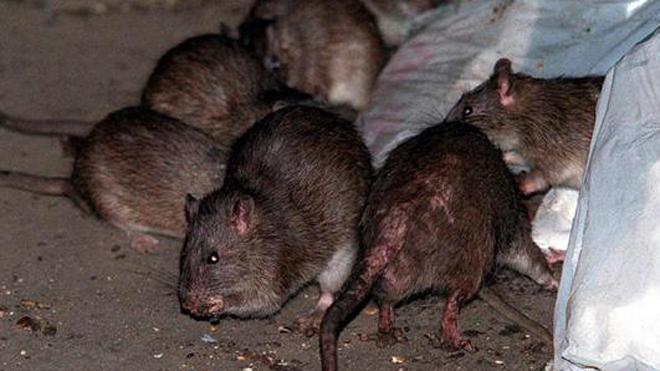 Messico: neonato ucciso dai topi