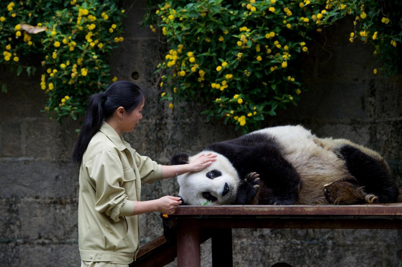 Panda gigante godrà di maggiore tutela: Cina vieta taglio illegale foreste
