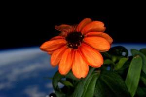Sboccia fiore sulla Stazione Spaziale Internazionale