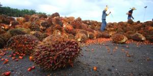 Rspo Next Nuova Certificazione per Sostenibilità Olio di Palma