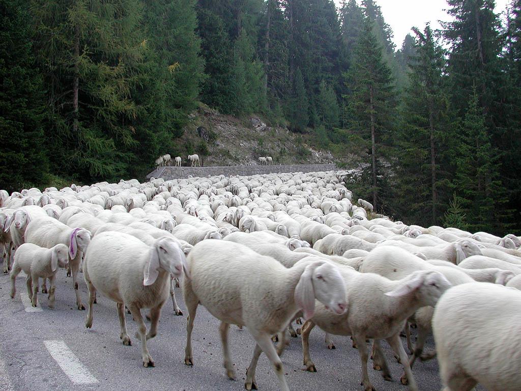 Pecore non vaccinate: pastore bresciano multato
