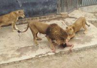Cerca di suicidarsi entrando in recinto leoni
