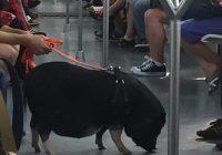 Roma, maiale al guinzaglio sulla metropolitana