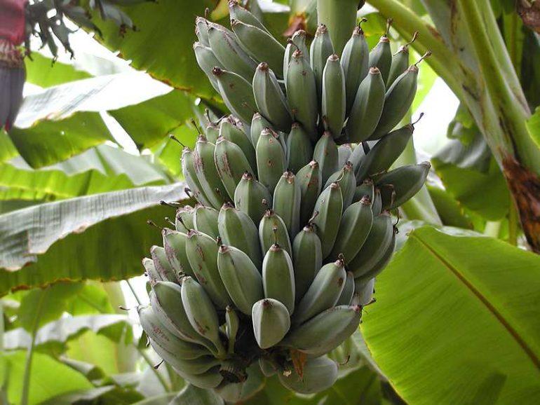 Banane: rischio estinzione per funghi patogeni
