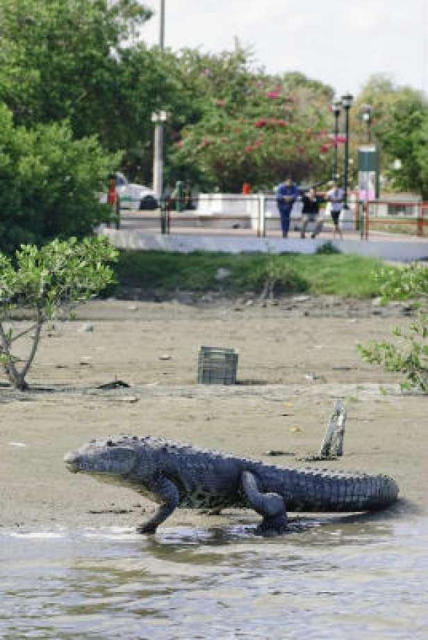 Messico, Polizia cattura baby coccodrillo