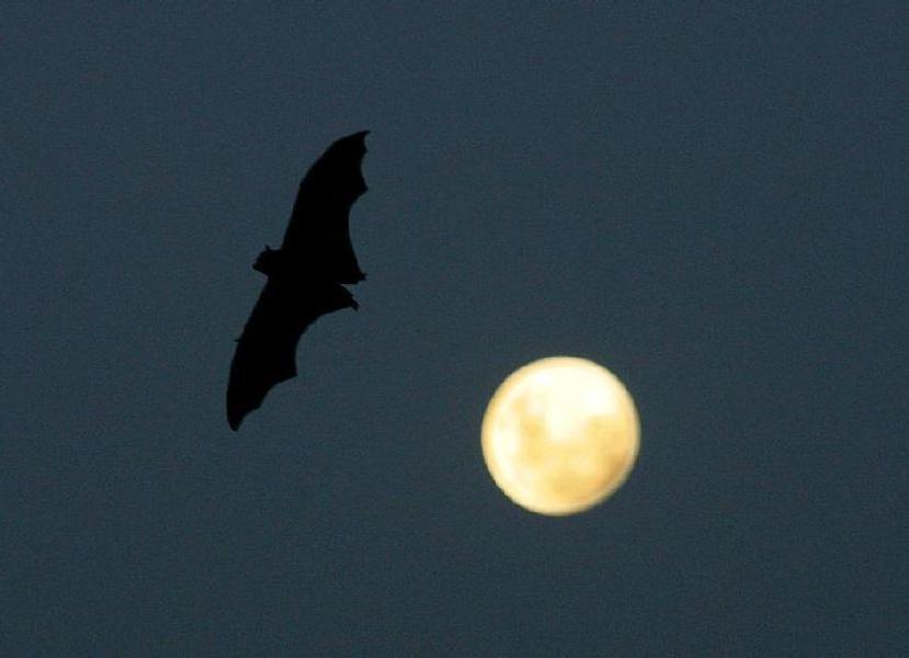 Pipistrello vampiro uccide un agricoltore brasiliano