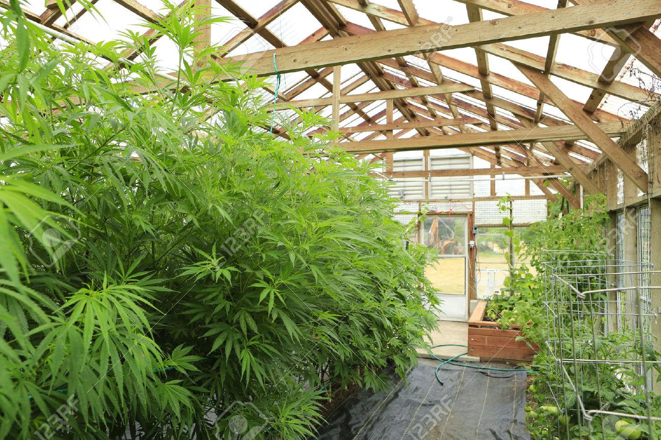 Marijuana legale arriva in Italia, ridotto contenuto di THC