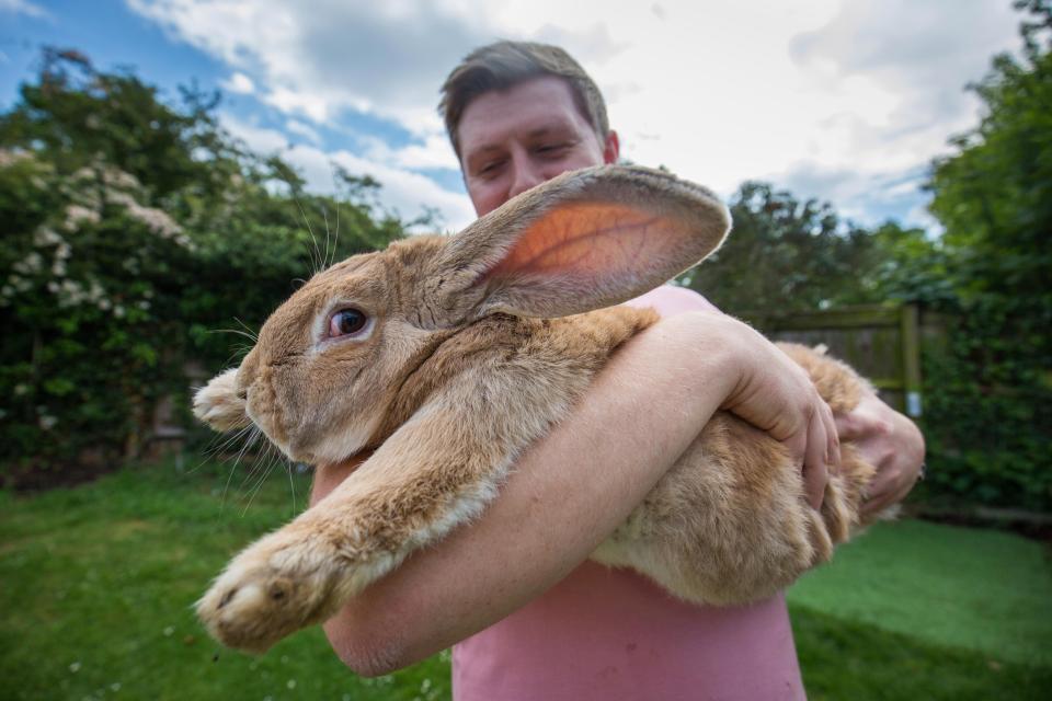 Coniglio gigante potrebbe diventare il più grande della Gran Bretagna