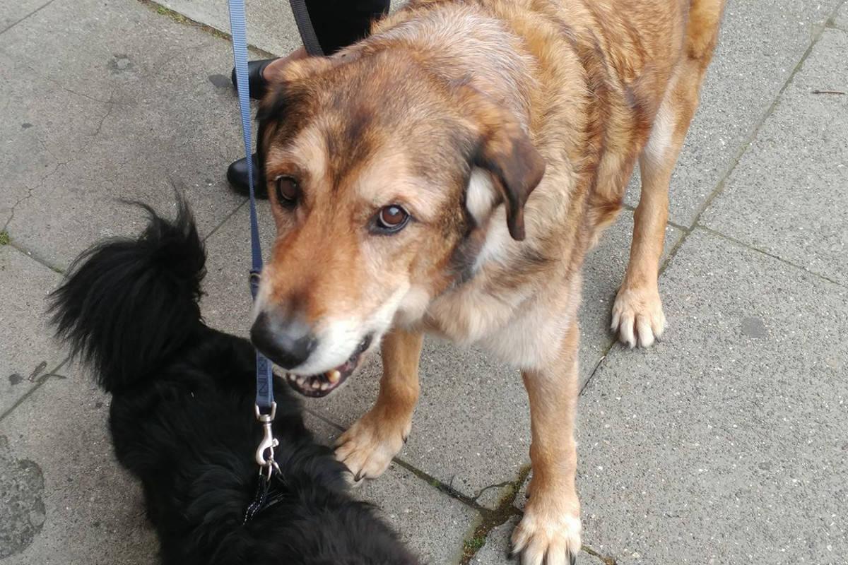 Canada, cane ricoperto da centomila pulci salvati da veterinario