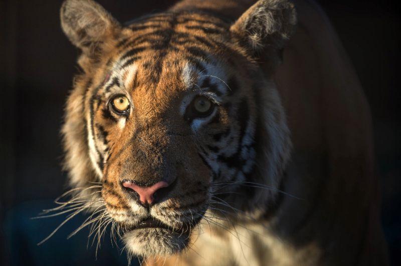 Tigre attacca e uccide domatore nello zoo cinese