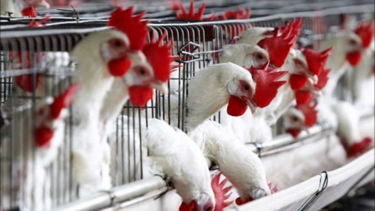 Aviaria, virus negli allevamenti italiani: capi abbattuti