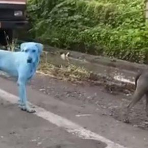 India, cani blu: ecco perché