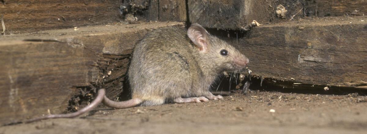 Padova, topo cade dal soffitto del reparto di Rianimazione dell'ospedale