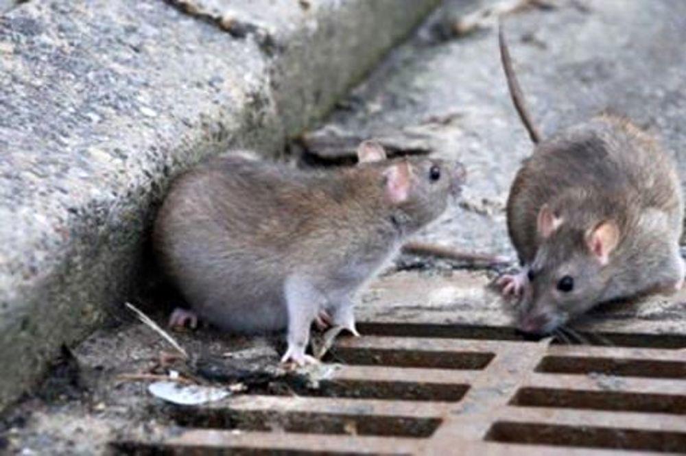 Topo di fogna entra in casa e la morde al volto angoscia e paura zz7 curiosit news ed - Come catturare un topo in casa ...