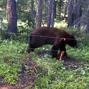Colorado, orso travolto: 3 morti