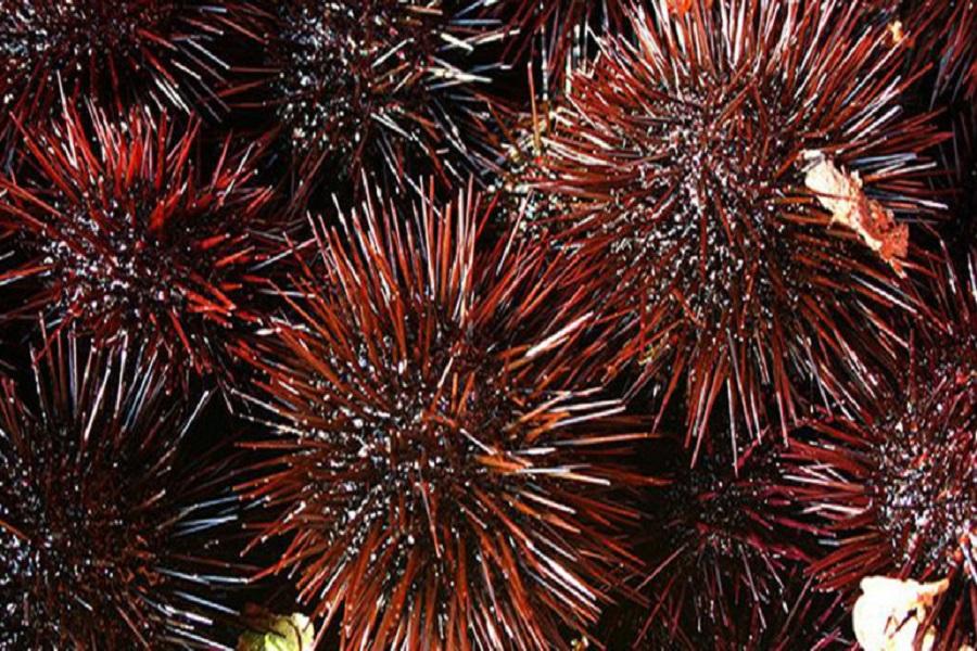 Combattere i tumori con ricci di mare ed alghe