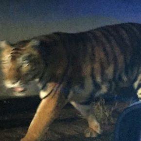 Tigre Fugge e Vaga in Città: Polizia Costretta ad Ucciderla