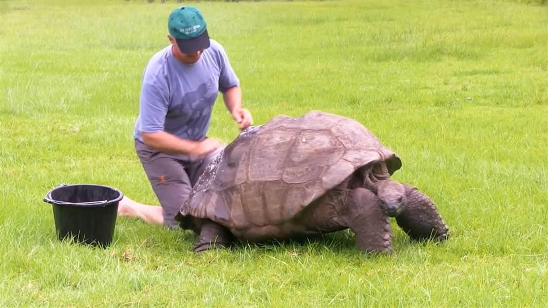 Tartaruga più vecchia del mondo fidanzata con un maschio: Jonathan è gay
