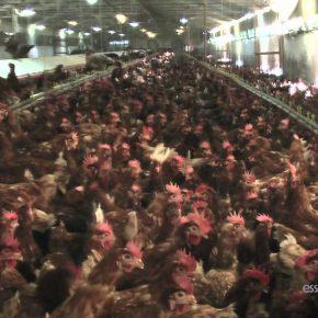 Carne di pollo: ecco perché il prezzo è spesso basso