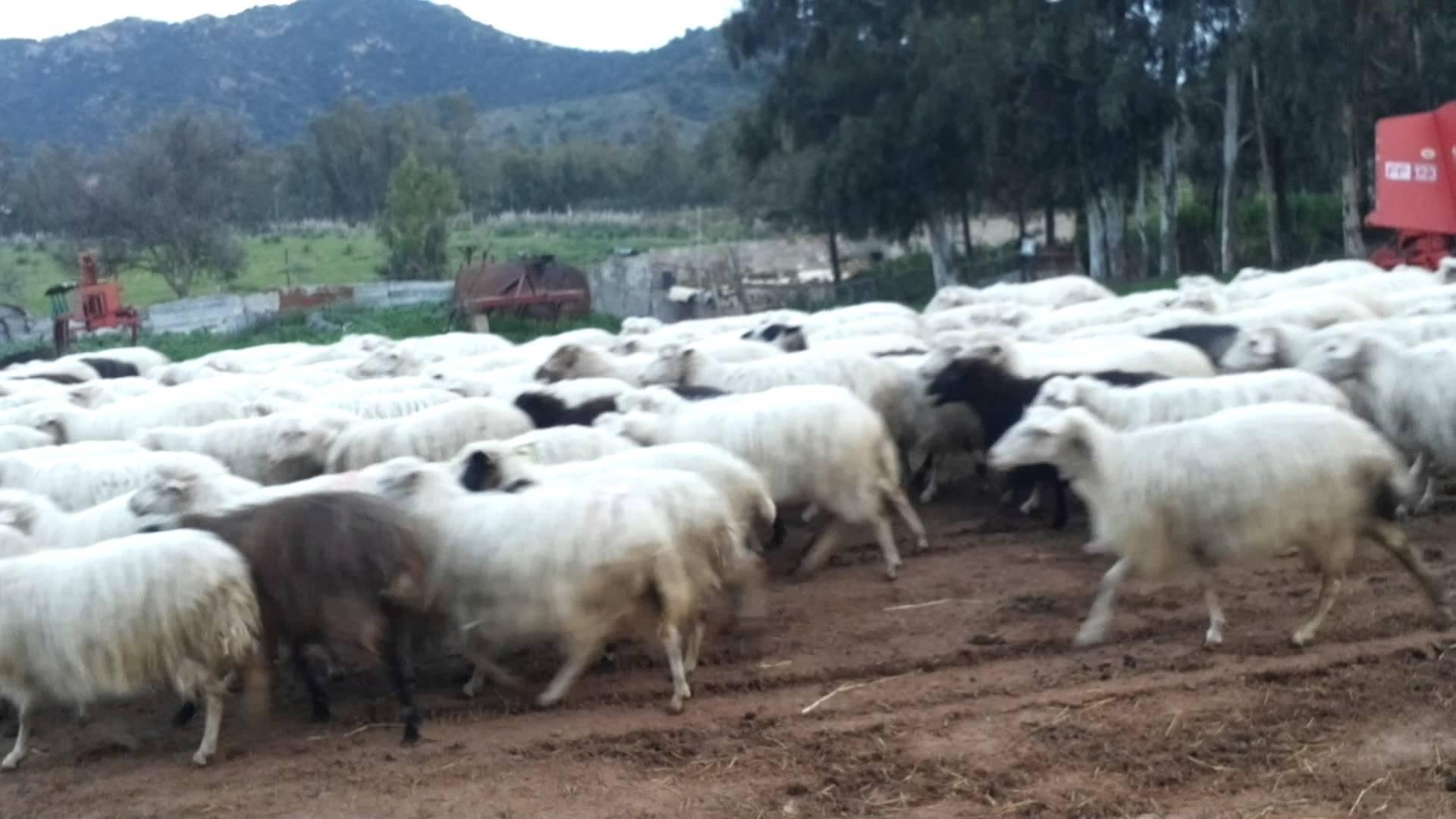Sardegna, 135 pecore sgozzate dall'allevatore: cooperativa non voleva il suo latte