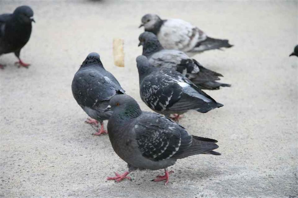 Morire per il contatto con escrementi di piccione