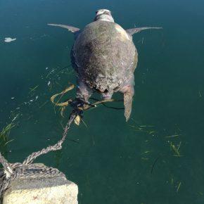 Taranto, tartaruga Gaetana martoriata e occultata in acqua