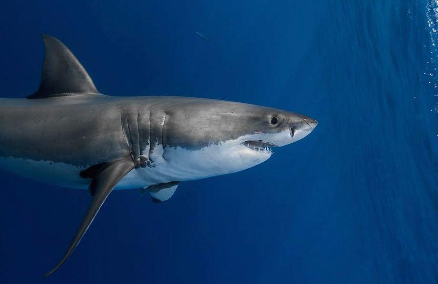 Fano, sub avvistano squalo bianco