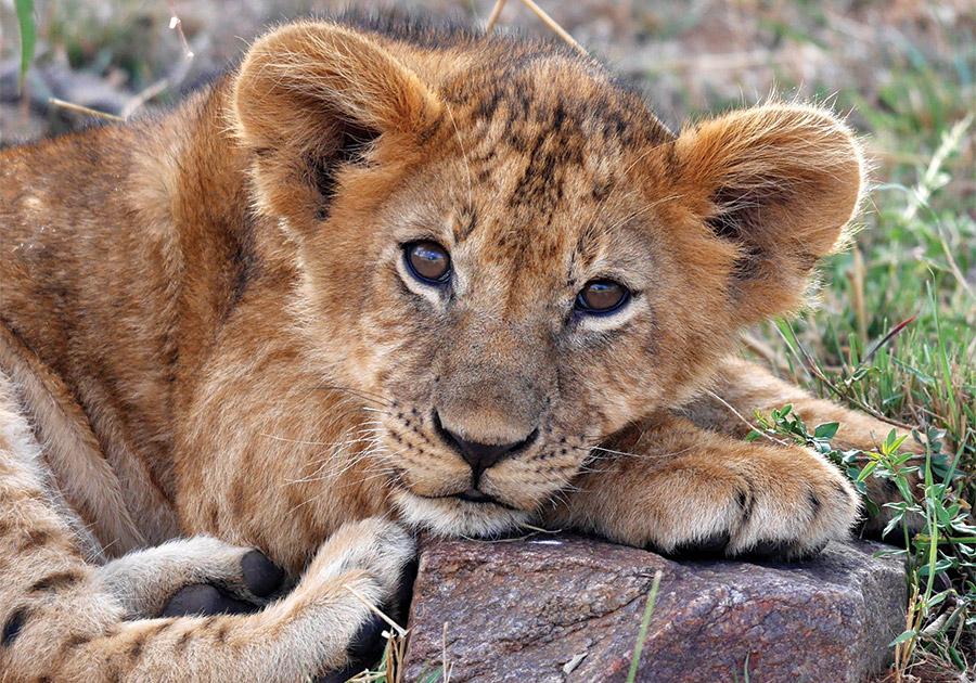 Cuccioli leone in valigia: arrestato