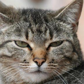 Giappone, gatto avrebbe cercato di uccidere anziana