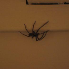 Svizzera: scopre ragno in camera e chiama Polizia
