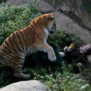 Russia: tigre siberiana aggredisce donna