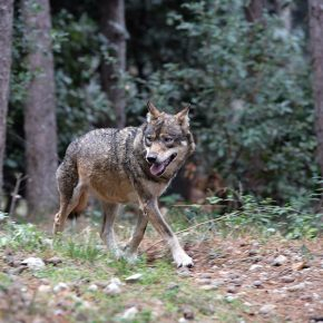 Trentino lupi pascoli