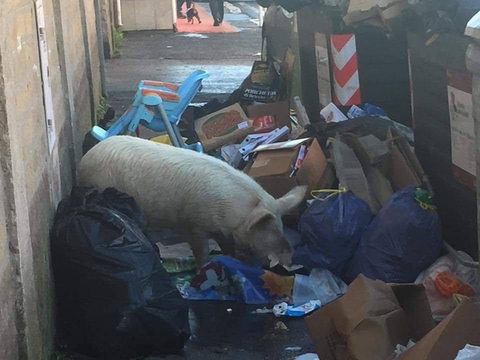 Roma Meloni maiale rifiuti Raggi