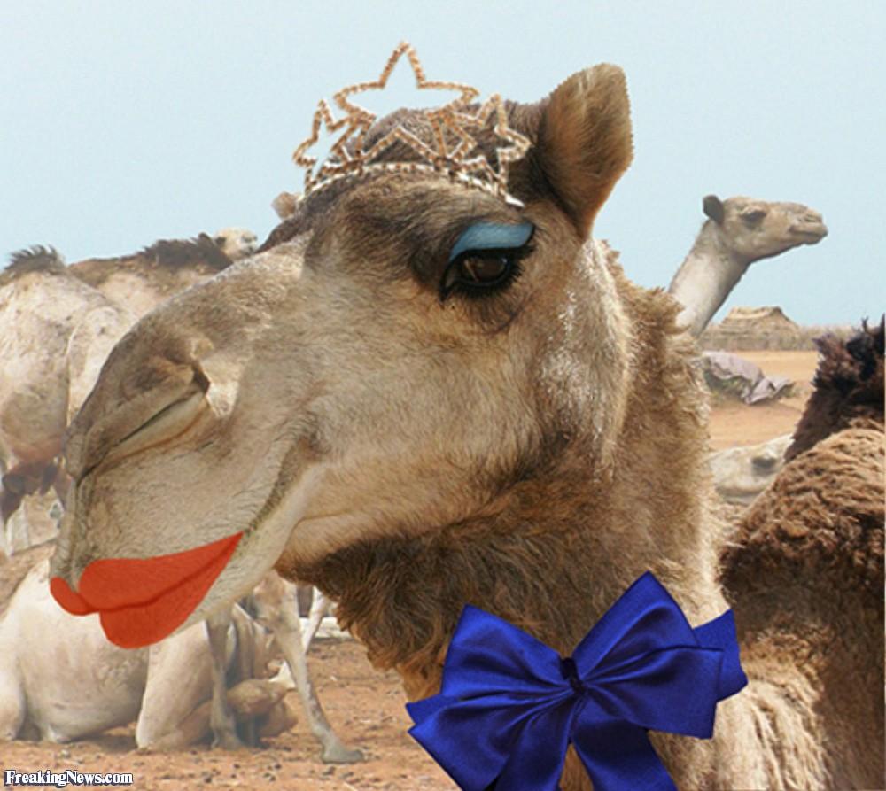 Cammelli con botox espulsi dal concorso di bellezza arabo