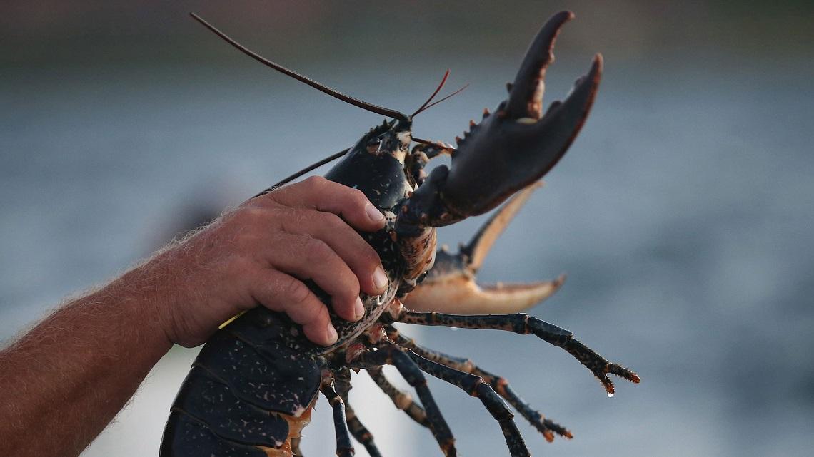 Aragoste vanno stordite prima di essere bollite