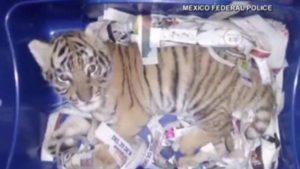 Cucciolo-sedato-di-tigre-nel-pacco