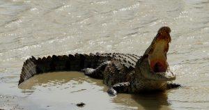 cane-coccodrillo-Indonesia-video