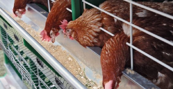 salmonella-galline-allevamento-abbattimento