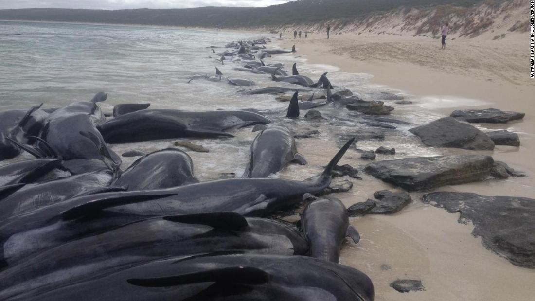 spiaggiamento-balene-australia