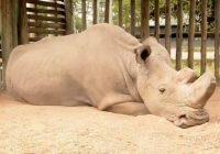 rinoceronte-bianco-morte-sudan