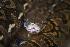 serpente-lungo-cervo-indonesia