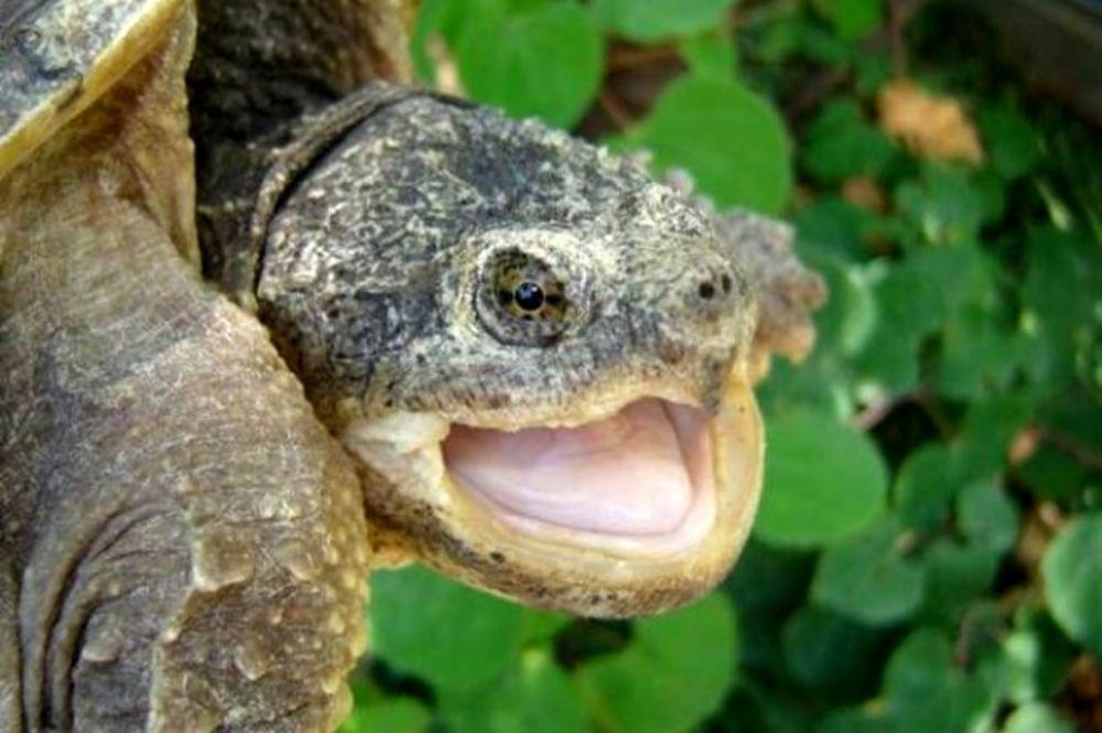 cucciolo-cane-tartaruga-idaho