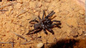 Ragno più vecchio del mondo muore per puntura di una vespa: aveva 43 anni