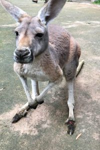 Canguro morto allo zoo cinese