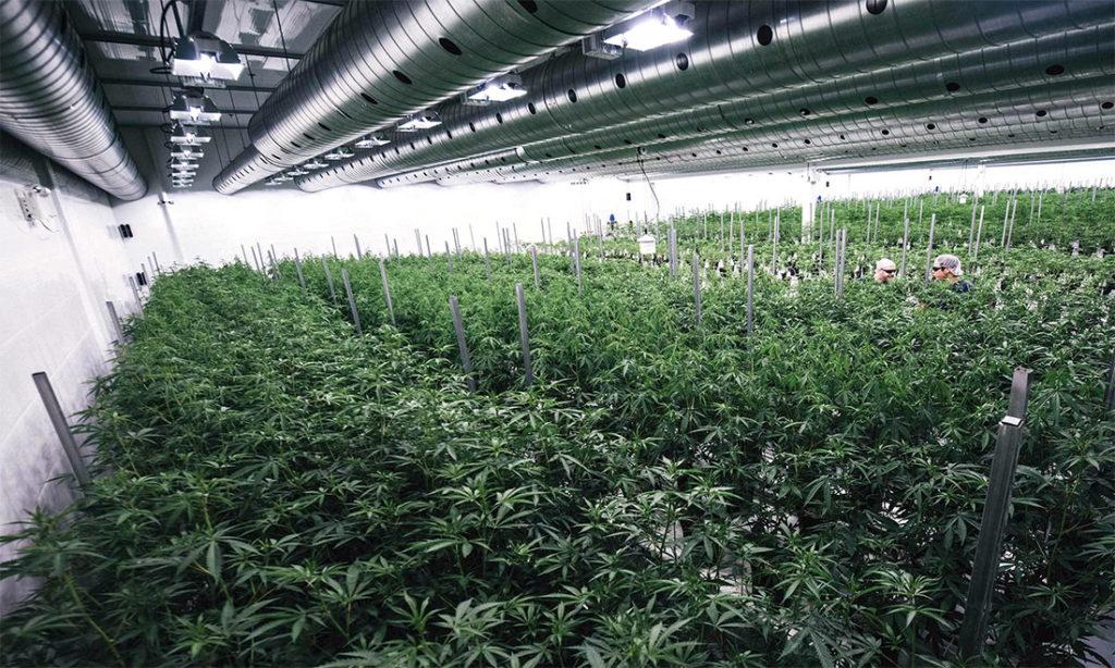 cannabis terapeutica scarseggia nelle farmacie